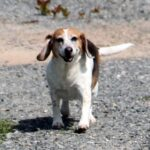 Callie the Beagle – #42
